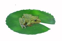 Green frog on water lily leaf. Green small frog sits lonely on water lily leaf on white background Stock Image