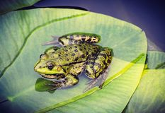 Green frog on leaf in pond. Green frog on water lily leaf in pond, close up royalty free stock images