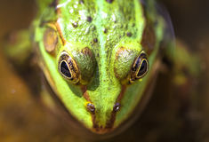 Green frog water frog on a water pond closeup. Focus on the big eyes with yellow details around Stock Photos