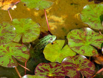 Green frog in water Royalty Free Stock Photography