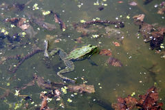 Green frog in water Stock Photos
