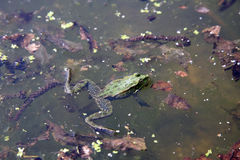 Green frog in water Royalty Free Stock Image