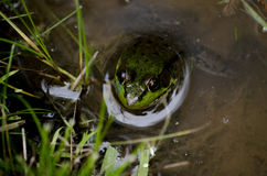 Green Frog in Water Royalty Free Stock Images