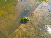The green frog in the water. Green frog is sitting in the water, macro stock image