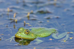 Green frog in the water Royalty Free Stock Image