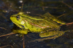 Green frog in the water stock image