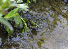 Green frog in water. Is waited its own habitat royalty free stock photos