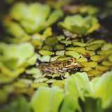Green Frog in a wetland Royalty Free Stock Photo