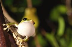 Green frog white  Balloon macro Stock Photo