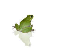 Green frog on white Stock Images