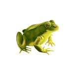 Green frog,  on white Stock Photo