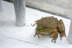 Green Frog on White Weathered Railing royalty free stock photography