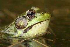 Green Frog & x28;Rana clamitans& x29; Royalty Free Stock Photo