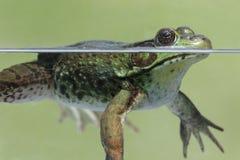 Green Frog & x28;Rana clamitans& x29; Royalty Free Stock Photography