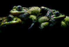 Green frogs on black Stock Photo