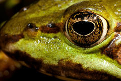 Green frogs eye Stock Images