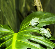 Green Frogs on a leave. Two green frogs are resting on a leave at the Sydney zoo in Australia Stock Image