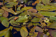 Green frogs sitting in a pond on a water plant leafs Royalty Free Stock Photos