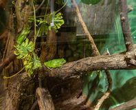 Green frogs in a small terrarium with lighting stock photo