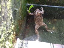 Green frogs that are swimming in the pond that the water is clear Royalty Free Stock Images