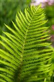 Green frond of a fern. On sunny day Stock Photo