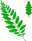Green frond of a fern, leaf with brown sporangia on white. Vector illustration Stock Image
