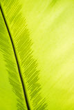 Green frond with spore lines. Close-up image, fern blade with many spore lines Royalty Free Stock Photo