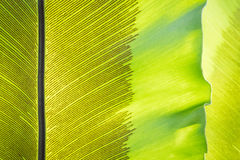 Green frond with spore lines. Close-up image, fern blade with many spore lines Royalty Free Stock Image