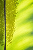 Green frond with spore lines. Close-up image, fern blade with many spore lines Royalty Free Stock Images