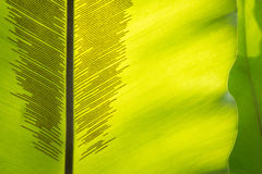 Green frond with spore lines. Close-up image, fern blade with many spore lines Stock Image
