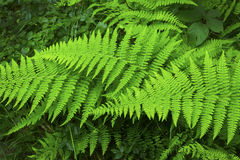 Green fronds of hayscented fern, Belding Preserve, Vernon, Conne Royalty Free Stock Photography