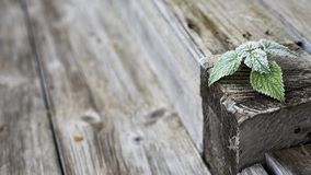 Green frost leaves at grunge brown and grey wooden background, village and country style photo stock image