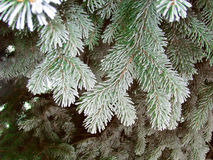 Green frost spruce, super hoar space needle. Snowing green tree branches Royalty Free Stock Images
