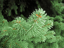 Green frost spruce, super hoar space needle. Snowing green tree branches Stock Images