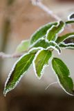 Green frosty leaves Stock Photography