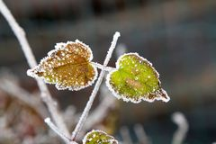 Green frosty leaves Royalty Free Stock Photography