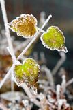 Green frosty leaves Stock Photo