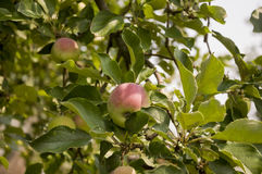 Green fruit apples with a bit of pink ripening on the branch of tree. Summer Royalty Free Stock Photo