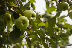 Green fruit apples ripening on the branch of tree. Summer Royalty Free Stock Images