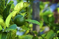 Green fruit growing on lime tree. Close up of tropical fruit tree showing green lime surrounded by green and yellow leaves royalty free stock image