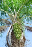 Green Fruit Hanging From Tropical Palm Plant. Stock Photos