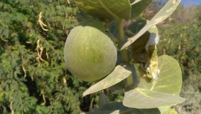 Green fruit. In Jordan amman light stock images