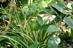 Young bush lime on background of grass. Green fruit of lemon growing on branch in wild. Young bush lime on background of grass Stock Photo