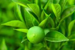 Green fruit of orange ripening on a branch of a tree - Croatia, island Brac. Green fruit of orange ripening on a branch of a tree - Croatia, Brac island Stock Photography
