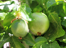 Green fruit of Passiflora. Hid among the leaves royalty free stock photography