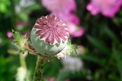 Green fruit pod poppy in the summer garden. Shallow depth of field royalty free stock photography