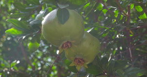 Green fruit of pomegranate tree in sunlight. Close-up shot of pomegranate tree with unripe fruit in bright sunlight. Fruit cultivation and agriculture stock video footage