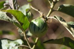 Green fruit of a thorn apple Stock Photography