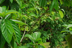 Green fruit. This is green fruit tree in garden.this garden is near forest Stock Image
