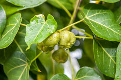 Green fruit in tree Royalty Free Stock Photo
